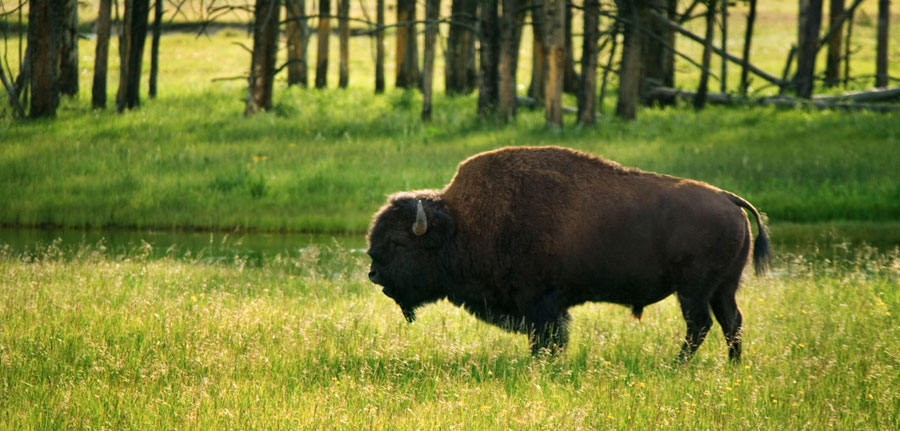 West Yellowstone Bison